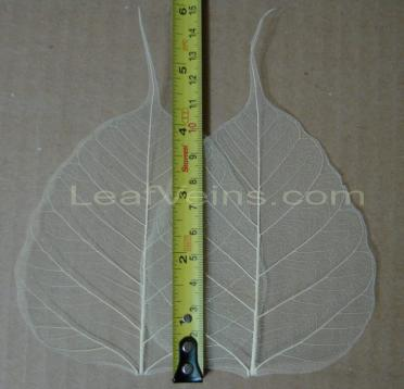 Bodhi Skeleton Leaves 4-4.5 inch Ivory or Off-white