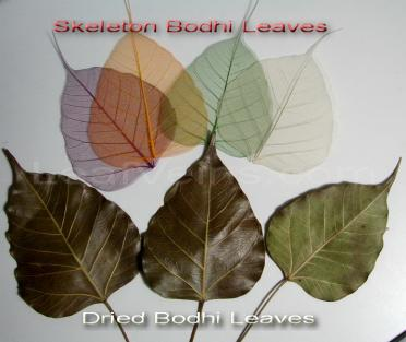 Compare Dried and Skeleton Bodhi Leaves