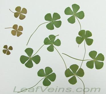 Four-leaf Clover & Lucky Charm