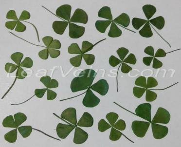 Green Four Leaf Clovers Dyed Permanent Color