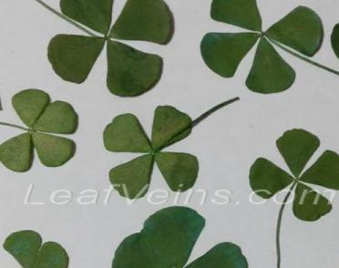 Green Four Leaf Clovers Dyed
