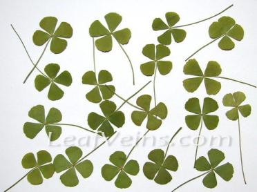Green Four Leaf Clovers Preserved(Olive Green)