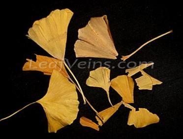Compare_Natural Dried Ginkgo Leaves are Fragile