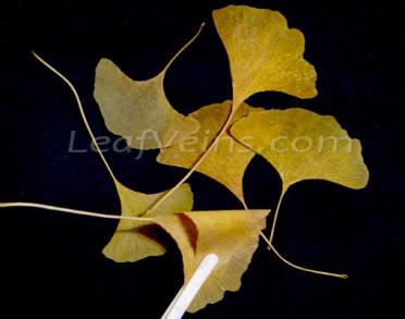 Compare_Softened Ginkgo Leaves Can Be Bent