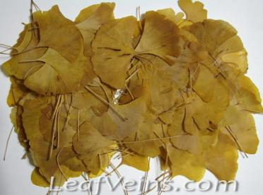 Dried Ginkgo Leaves Color Vary