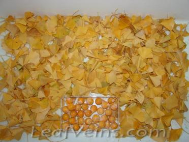 Ginkgo Leaves are Collected Locally