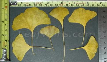 Regular Gingko Leaf Sizes