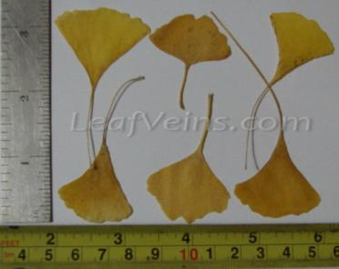 Small ginkgo leaf Sizes