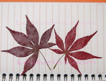 Dried Japanese Maple Leaf Color Vary