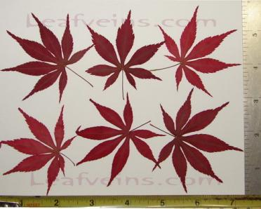 Dried Japanese Maple Leaf Size