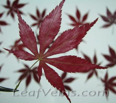 Dried Japanese Maple Leaf