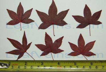 Five Lobed Red Maple Leaf Size