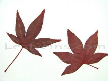 Five Lobed Red Maple Leaf