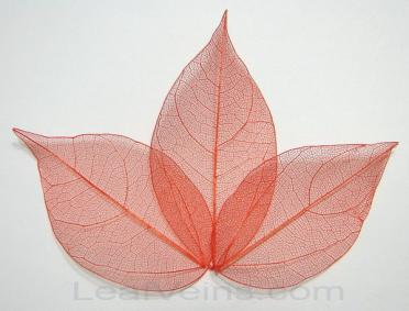 Ligustrum Skeleton Leaves