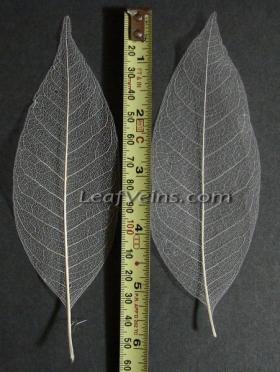 5 inch magnolia Skeleton leaf