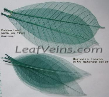 Magnolia Skeleton Leaves Color Match Test