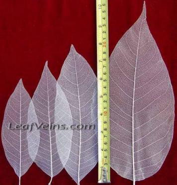 Size of Magnolia Leaf Skeleton Leaves