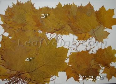 Dried Maple Leaf Sizes