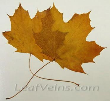 Dried Maple Leaves Are Specially Processed