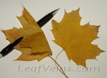 Dried Maple Leaves Processed to Soft