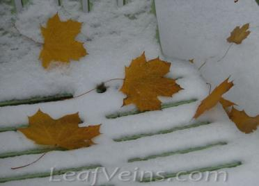 Dried Maple Leaves Show in Snow 02