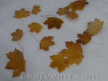Dried Maple Leaves Show in Snow 03