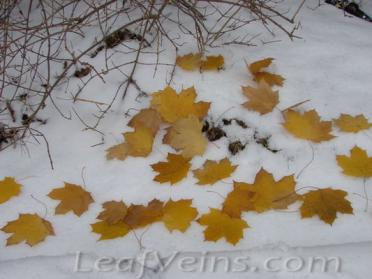 Dried Maple Leaves Show in Snow 05
