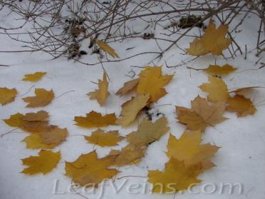 Dried Maple Leaves Show in Snow 06