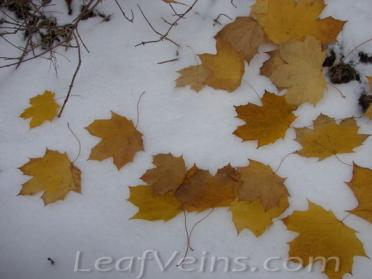 Dried Maple Leaves Show in Snow 07