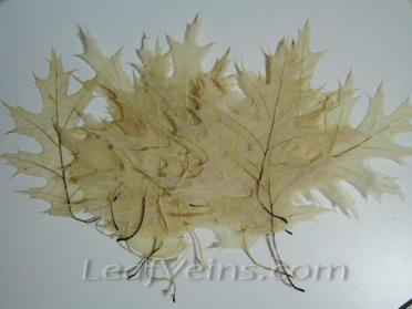 Bleached Oak Leaves are in Off-white color