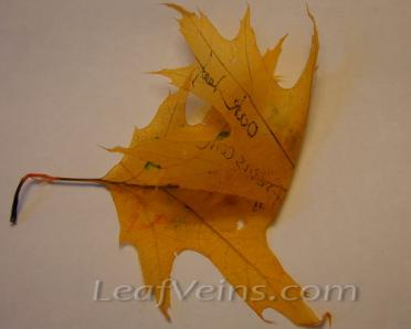 Bleached or Dyed Oak Leaves Are Very Soft