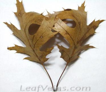 Dried Oak Leaves are Processed Soft