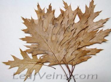 Dried Oak Leaves are Specially Processed