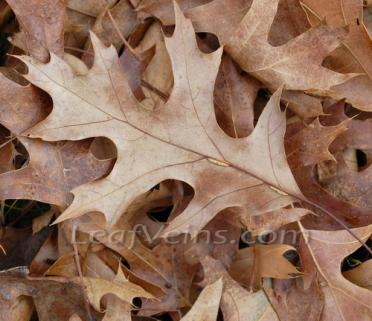 Dried Oak Leaves are collected locally