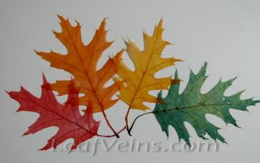 Oak Leaves Dyed to Natural colors