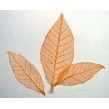Rubber Leaves