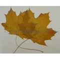 Maple Leaves, Dried, 20-pk