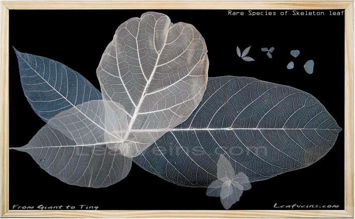 Rare Species of Skeleton Leaf, from giant to tiny